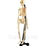 USL Mini Skeleton (51cm) - ESK046